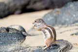 Barbary Ground Squirrel Atlantoxerus getulus on  Fuerteventura, Canary Islands  Spain - 192274907