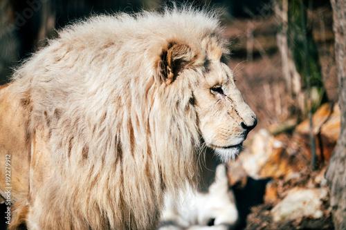Fotobehang Lion Portrait of white lion walking towards camera