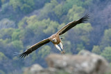 Griffon Vulture in Flight, into the Mountains - 192283779