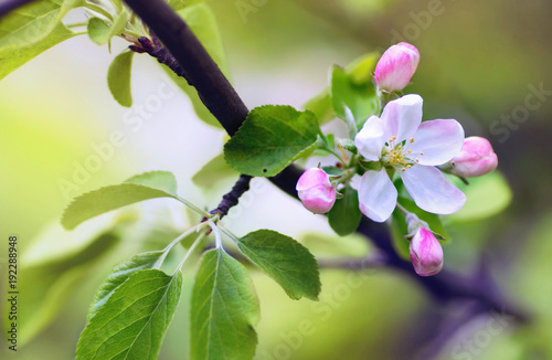 Fototapety, obrazy : Flowers of an apple tree in spring on a nature outdoors macro. Colorful bright artistic image.