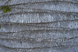 Relief grey bark of palm trees with green moss. - 192296924