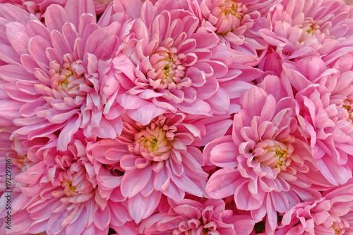 pink chrysanthemum flowers, natural background - 192299116