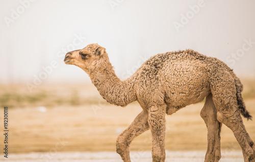 Aluminium Kameel camel