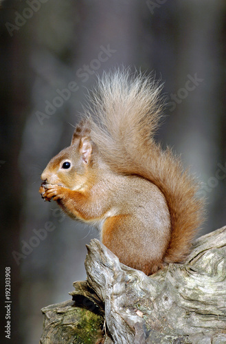 Foto Murales red squirrel;british mammal;sciurus vulgaris;highlands;scotland