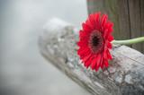 gerbera rouge coupé sur barrière en bois - 192310567