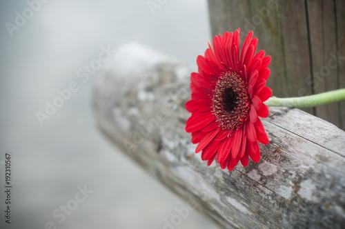 Sticker gerbera rouge coupé sur barrière en bois