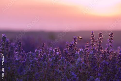 Fotobehang Lichtroze Bee flying around over lavender field