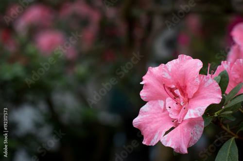 Fotobehang Azalea Azalea flower blooming