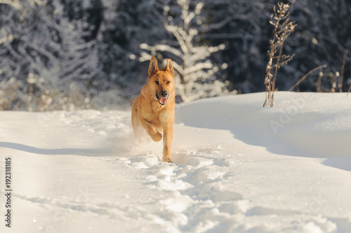 Red dog running against white snow and the background of the forest