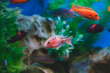 Aquarium fish - Cichlids. Fish from the family Cichlidae in the order Perciformes. - 192318359