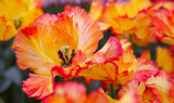 Red and orange tulips background.