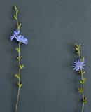 Flowers of chicory lie on dark paper - 192324139