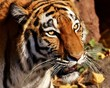 tiger, cat, animal, wildlife, mammal, wild, feline, predator,