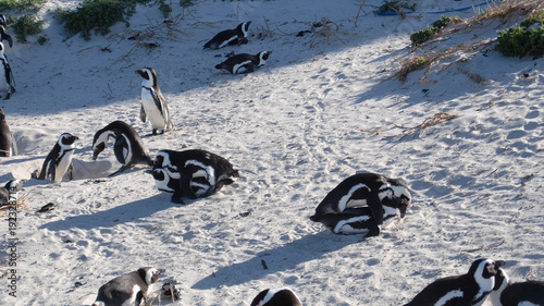 Fotobehang Pinguin African penguins on Boulders beach
