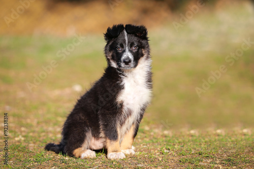 border-collie-chiot