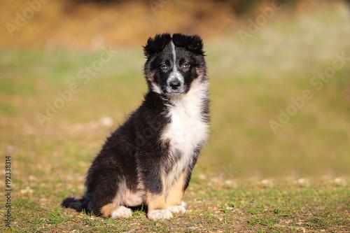 Foto Murales Border collie puppy