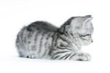 Getigertes Kätzchen im Profil liegend isoliert auf weißem Grund