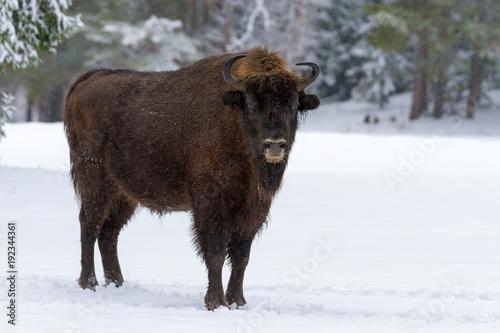 Fotobehang Bison Wild European Wood Bison,Bull (Male). Motherly Bison Close Up. Adult Wild European Brown Bison ( Bison Bonasus ) In Winter Time. Adult Aurochs ( Wisent ) In Winter Pine Forest. Belarus