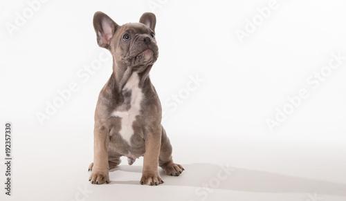 Papiers peints Bouledogue français French bulldog puppy looking up
