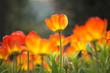 Single glowing tulip in field