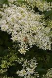 Ligustrum vulgare - 192364747