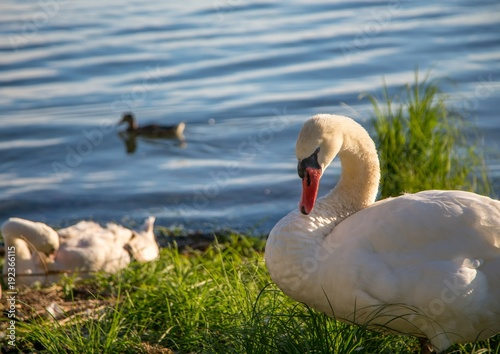Fotobehang Blauwe jeans Mute swan female is observing her youngs at a lake in Germany during a summer evening