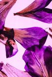iris petals on pink background