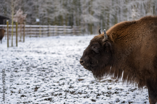 Fotobehang Bison A looking bison on a cold winter day