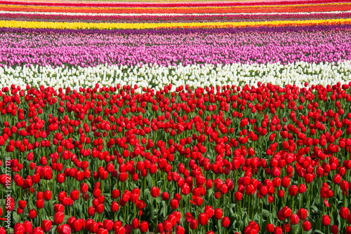 Fotobehang Tulpen Striated Field of Colorful Tulips Filling the Frame