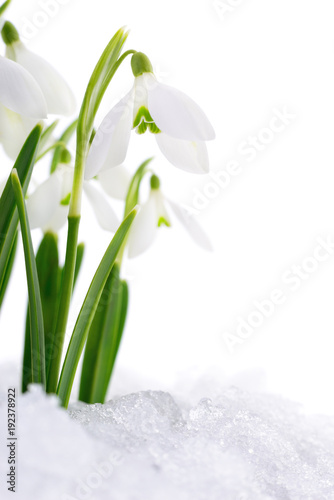 Foto op Canvas Natuur Snowdrop and Snow.