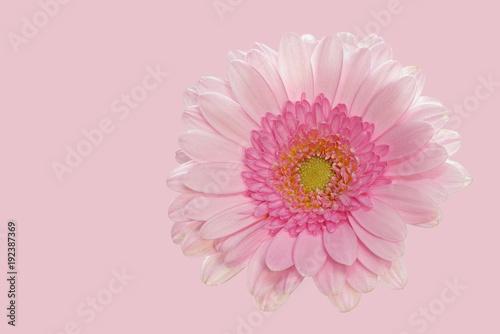 Plexiglas Gerbera Rosa Gerbera auf rosa Hintergrund - Groß - rechte Seite