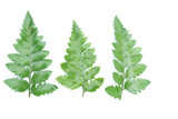 green leaves of fern isolated on white - 192390797