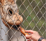Man feeds African giraffe (Giraffa camelopardalis) with a banana - 192395362
