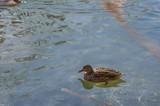 Ente im Wasser - 192398328
