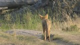 coyote standing in the lamar valley of yellowstone national park, usa - 192413701