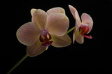 Flowers of a pink orchid isolated on a black background - 192437734