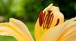 Lilly flower closeup.