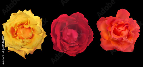 three rose blooms isolated on black