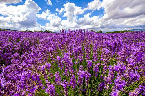 Aluminium Lavendel Champ de lavande en été, ciel bleu avec des nuages, Provence, France.
