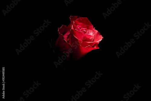 particolare di rosa rossa su fondo nero
