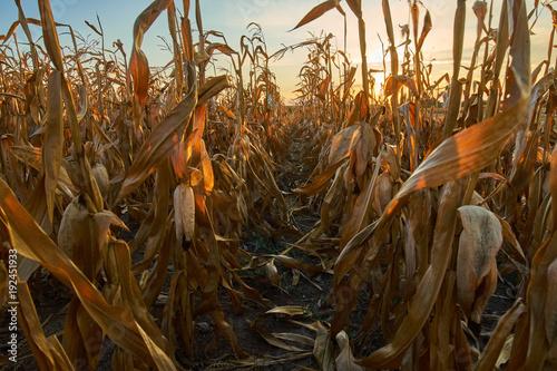Foto op Plexiglas Herfst Corn field at sunset