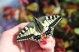 Papillon Machaon sur la main de une femme - 192458776