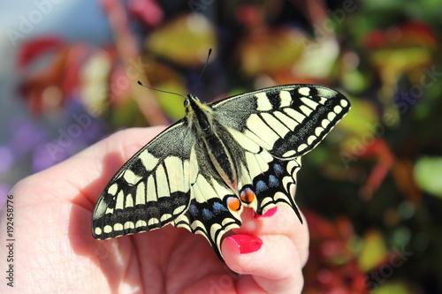 Papillon Machaon sur la main de une femme