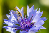 Closeup of a beautiful blue purple cornflower, bachelor's button and a hornet, bee on a green background, Centaurae cyanus - 192464942