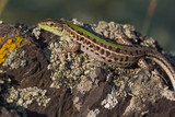 Closeup of a beautiful green lizard with brown spots standing on a rock - 192464982