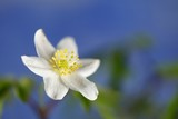 Wood anemone known also as windflower, thimbleweed and smell fox - 192465736