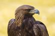 Aguila2