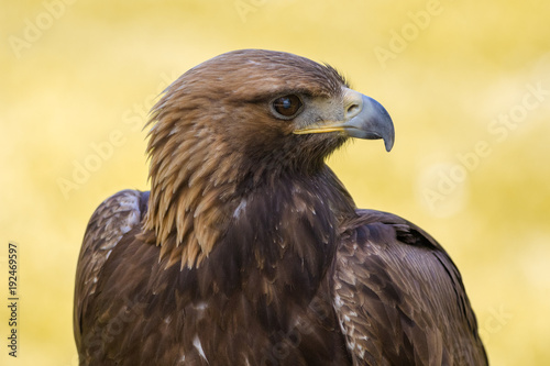 Fotobehang Eagle Aguila2