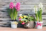 Duftende Hyazinthen und Tulpen zum Frühlingserwachen rustikal vor Holz