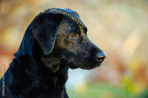 Black Labrador Retriever dog outdoor portrait in nature